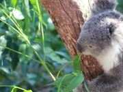 Koala Bear Eating in Tree