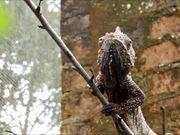 Malagasy Giant Chameleon