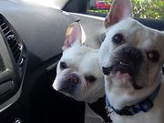 Dogs Excited To Go To The Park