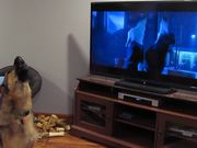 Distract A German Shepherd With Howling