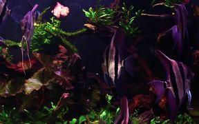 Angel Fish in Tank