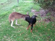 Kangaroo And Dog Are Best Friends