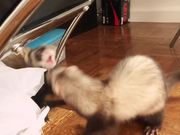 Ferret Helps Take Out The Trash