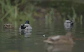 Close Up Ducks Swimming