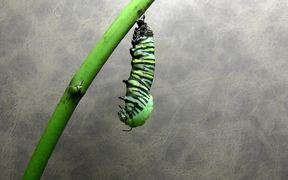 Monarch Butterfly Time Lapse