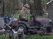 Reporter Notices Dog Riding Lawnmower