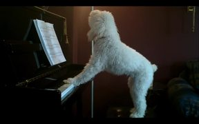 A Dog Playing Piano