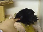 Crow Getting Some Finger Food