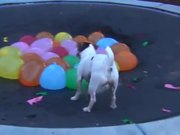 Dog Vs Water Balloons
