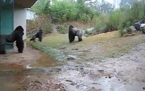 Gorilla Playing In The Rain