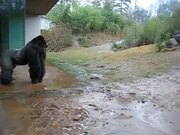 Gorilla Playing In The Rain
