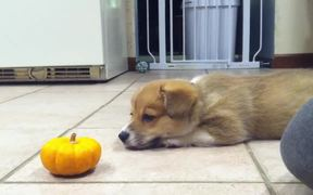 Corgi Puppy Vs Pumpkin