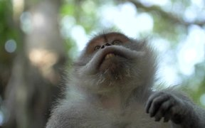 Macaque Monkey Looking At Its Hand