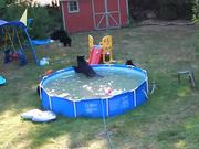 A Bear Pool Party