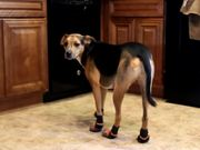 Bill The Dog Wearing Boots