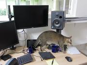 Monkey The Cat Hunts For Dinner