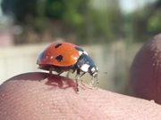Ladybird Opening Wings