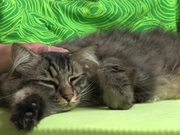 Caressing a Domestic Tabby Cat