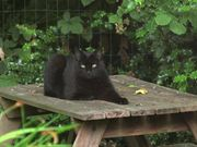 Black Cat Jumps Off Table