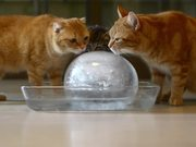 Cats Enjoying An Ice Ball