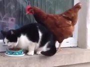 Chicken Vs Cat