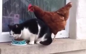 Chicken Vs Cat