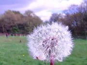 Dandelion Nature Clip