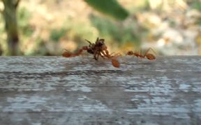 Ants Carrying Dead Spider