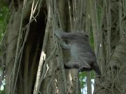 Monkey Swinging Between Vines