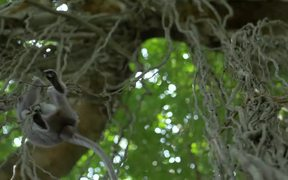 Monkey Swinging Between Vines