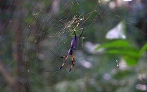 Red-Legged Golden Orb-Web Spider