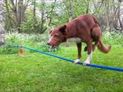 Handstand On Tightrope Dog