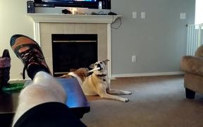 Lab Mix Outsmarts Corgi For His Toy