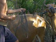 Man Splashing Water on Cow