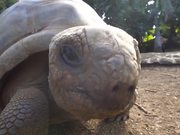 Giant Aldabra Tortoise Walking
