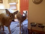 Deer Using The Doggy Door
