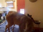 Deer Using The Doggy Door