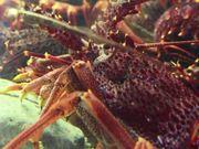 Lobsters in Tank
