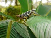 Two-Horned Chameleon