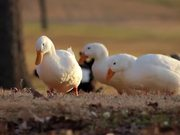 3 White Campbell Ducks Searching