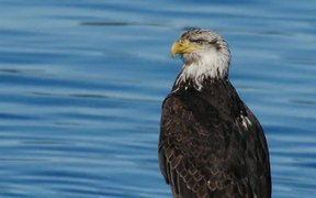 Bald Eagle by the Water