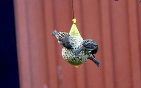 Birds Feeding - Nature Clip