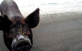 Pig Wants A Cookie