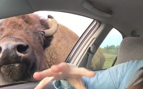 Buffalo Kisses