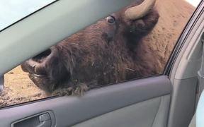 Buffalo Kisses