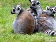 Ring-Tailed Lemurs Cleaning