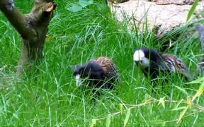 Two Marmosets in Grass