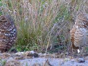 Pair of Burrowing Owls