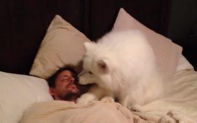 Samoyed Wakes Dad