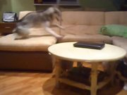 Husky Playing With Puppies